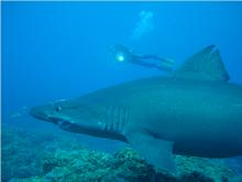 Small tooth Sand Tiger shark in El Salto dive site - exclusive to Canary Islands Diving
